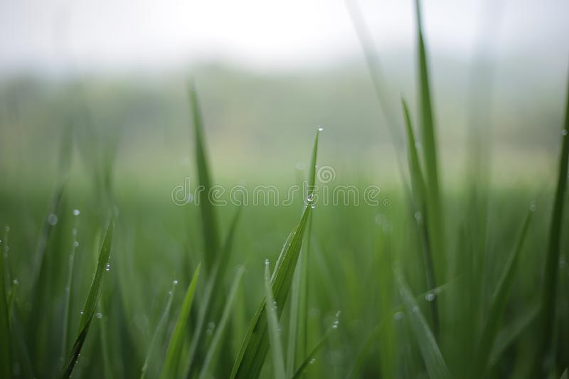 bokeh detail lush Green rice field for background royalty free stock photo