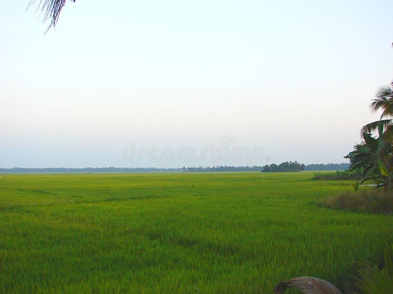 Lush Green Rice Paddy Filed in Early Morning, Kerala, India royalty free stock photo