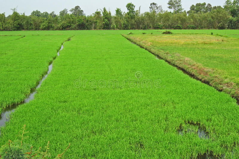 Lush green Rice Paddy, Mekong Delta, Vietnam royalty free stock photos
