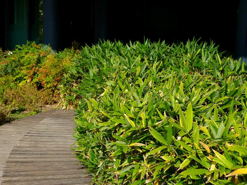 Lush green sedge type foliage in urban park garden and wooden boardwalk. Lush green foliage of sedge type hedge along urban garden and wooden plank walkway with royalty free stock photos