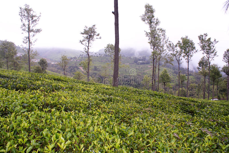 Download Lush green tea garden stock photo. Image of hills, south - 12636412