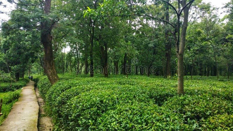 Lush green Tea garden of kangra India. Beautiful path way thru green tea garden in Bir Kangra India Himachal Pradesh stock photo