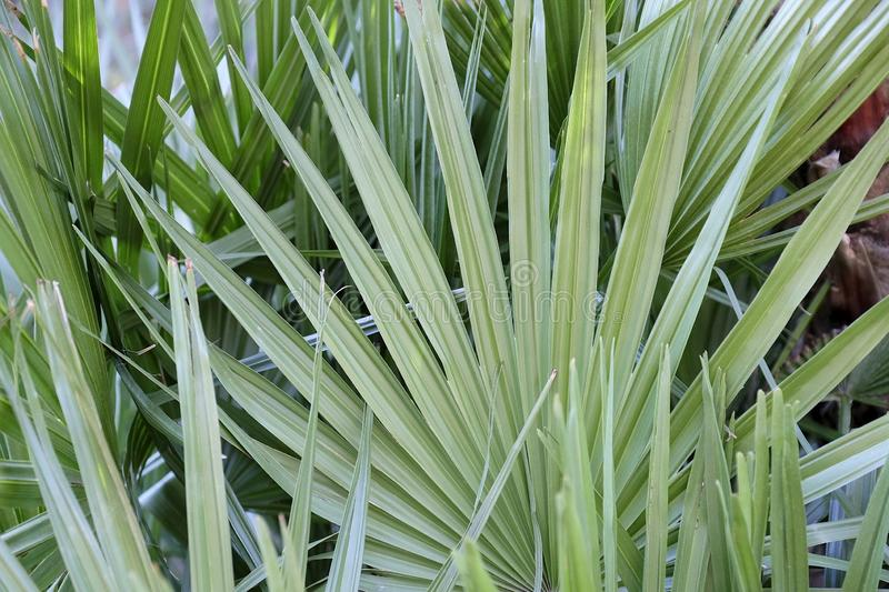 Lush green tropical palm plant with broad leaves in the shade. Lush green tropical palm  plant with broad leaves in the shade to be used as a background for royalty free stock photos