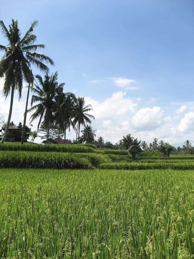 Download Lush Green Ubud Rice Fields Bali Stock Photo - Image: 11803858