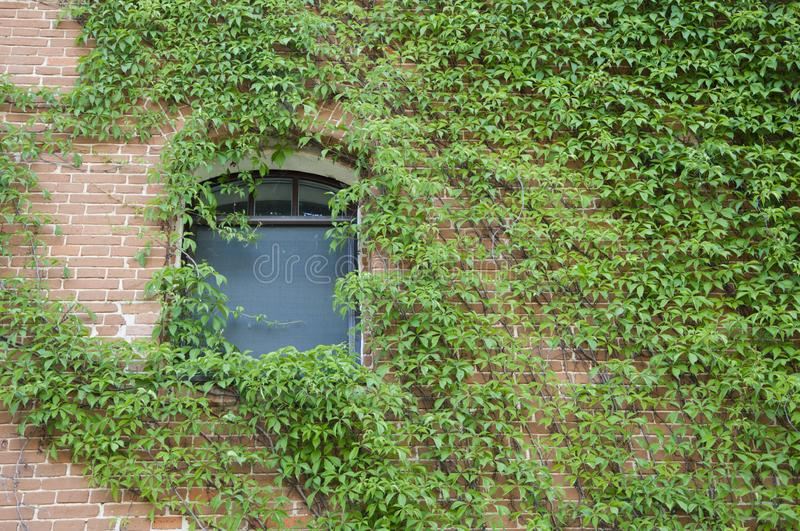 Lush and green. Vines growing on stone wall in summer. House building covered with ivy. Green ivy plant climbing brick wall. Old. House exterior with creeper or royalty free stock image
