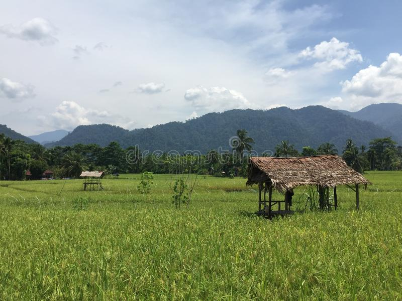 Rice plantation in Indonesia royalty free stock photos