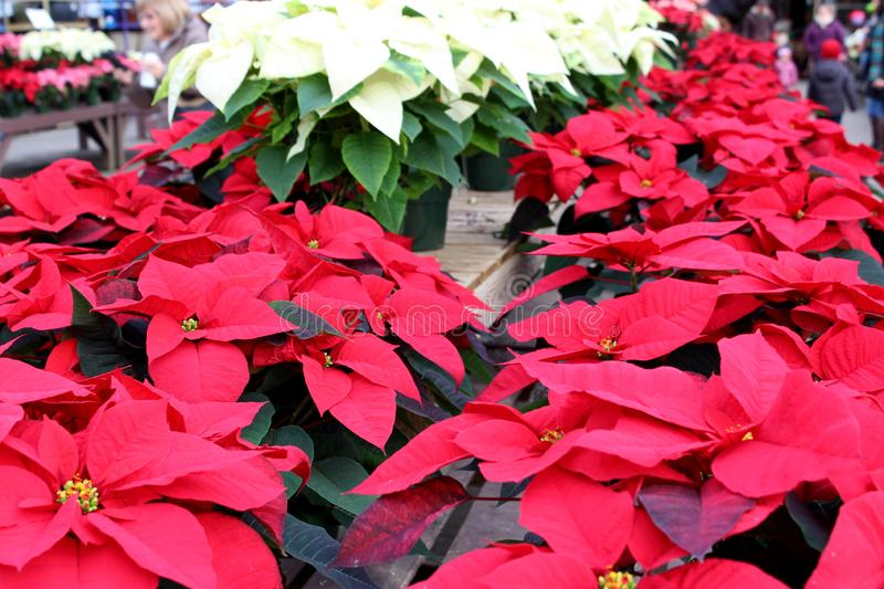 Gorgeous holiday poinsettia plants in bright colors of red, pink, and white on tables at nursery royalty free stock photography