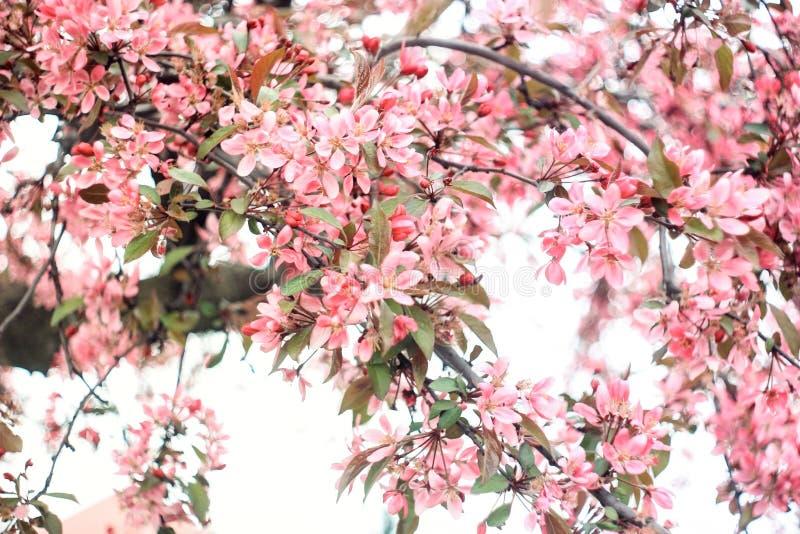 Lush inflorescence of pink sakura stock images