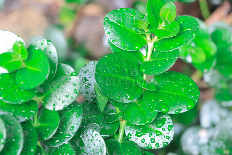 This lush jungle greenery with water droplets is a nice little piece of the rain forest right here at home. The natural plant is stock images