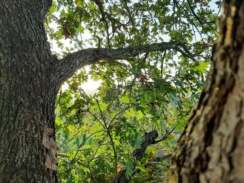 A lush leafy oak tree in the afternoon sun. Tree branches royalty free stock image