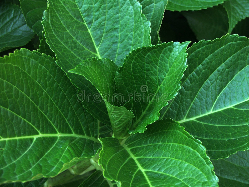 Download Lush leaves stock image. Image of moist, botanical, leaf - 165499