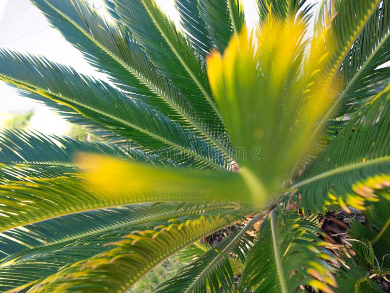 Lush leaves of  Japanese sago palm stock images