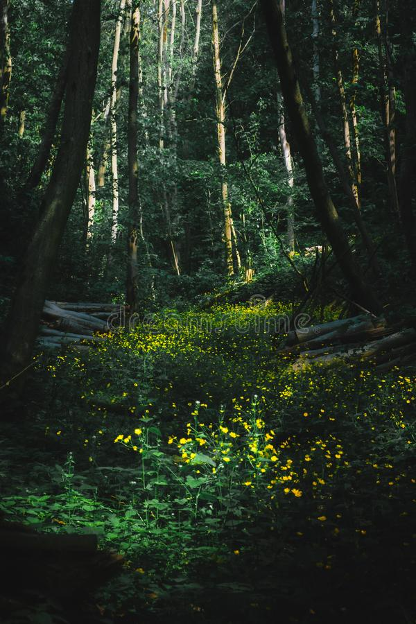 A lush meadow in the middle of the forest ripe with yellow blooming flowers stock photography