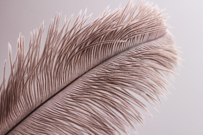 Lush ostrich feather on white background. Decorative elements. Nature textures. Pattern. Animals stock photo