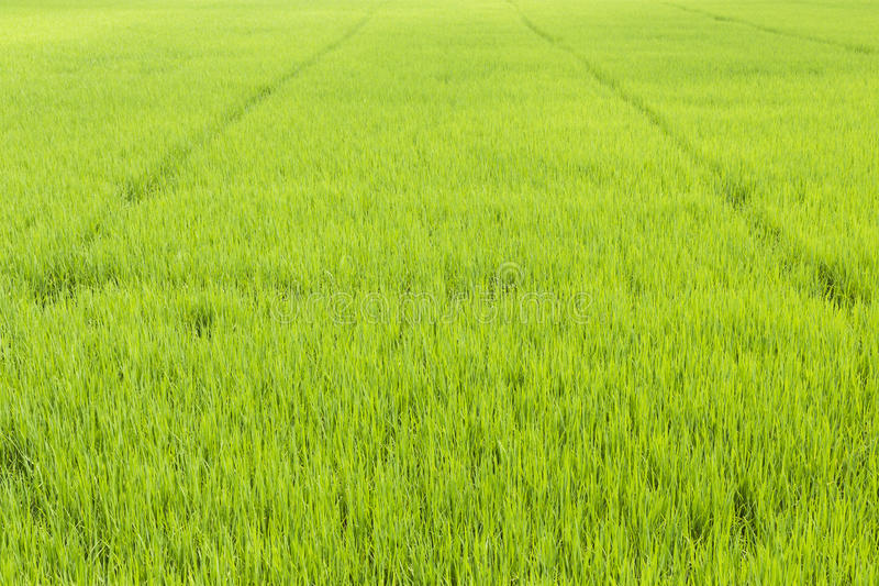 Lush paddy royalty free stock image