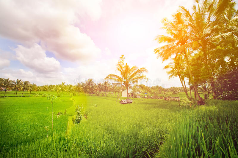 Lush paddy field of Bali early in the morning. Beautiful lush paddy field of Bali early in the morning stock photos