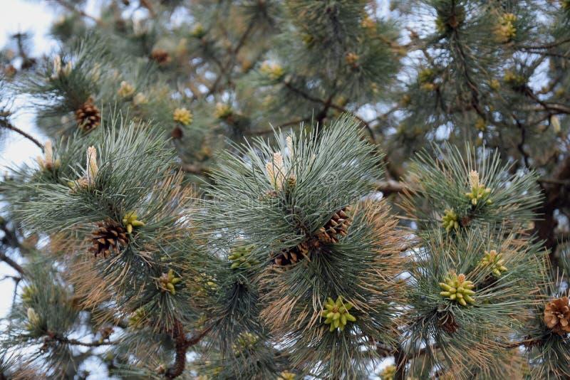 Lush pinheiros com cones contra o céu próximo Padrão natural imagem de stock royalty free