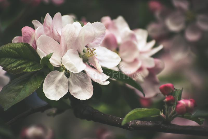 Lush pink inflorescence of apple tree stock photo
