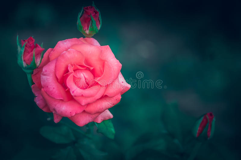 Lush pink rose stock photography