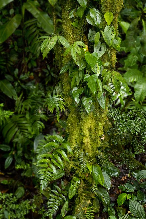 Lush plant life grows on and around a tree trunk in the Monteverde Cloud Forest in Costa Rica. The Monteverde Cloud Forest Reserve was established in 1972 and royalty free stock image