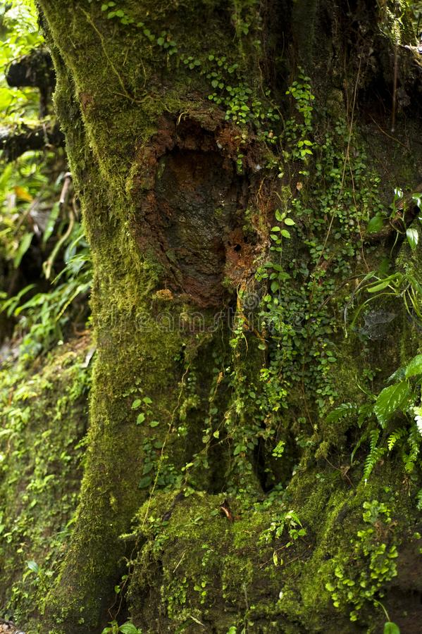 Lush plant life grows on a tree trunk in the Monteverde Cloud Forest Reserve in Costa Rica. The Monteverde Cloud Forest Reserve was established in 1972 and stock photo