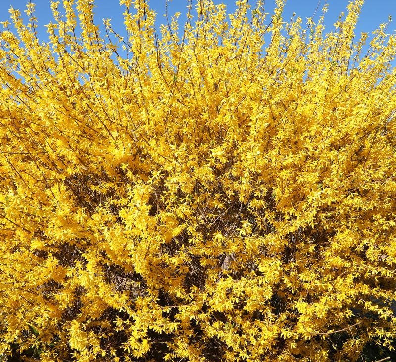 lush plant with thousands of yellow Forsythia flowers royalty free stock photos