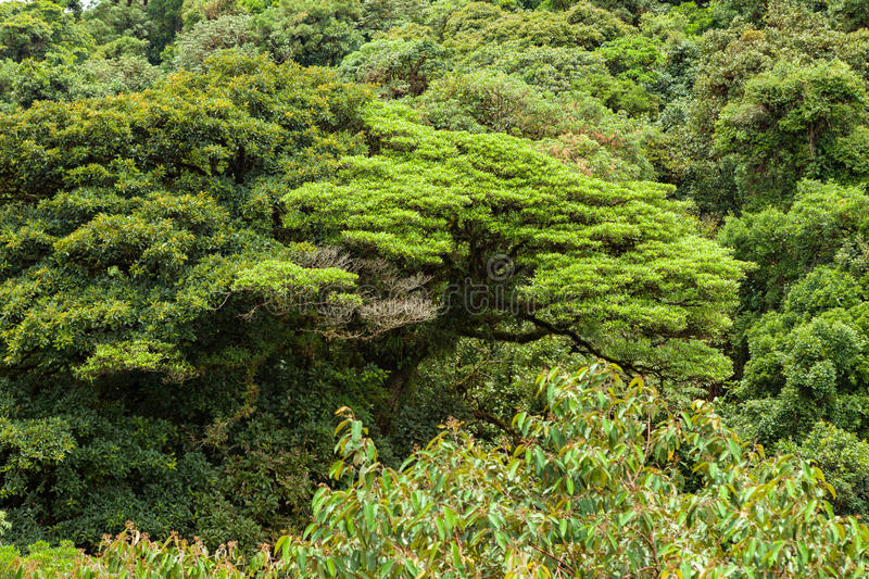 Download Lush Rainforest Canopy Monteverde Costa Rica Stock Photo - Image of nature tropical & Lush Rainforest Canopy Monteverde Costa Rica Stock Photo - Image ...