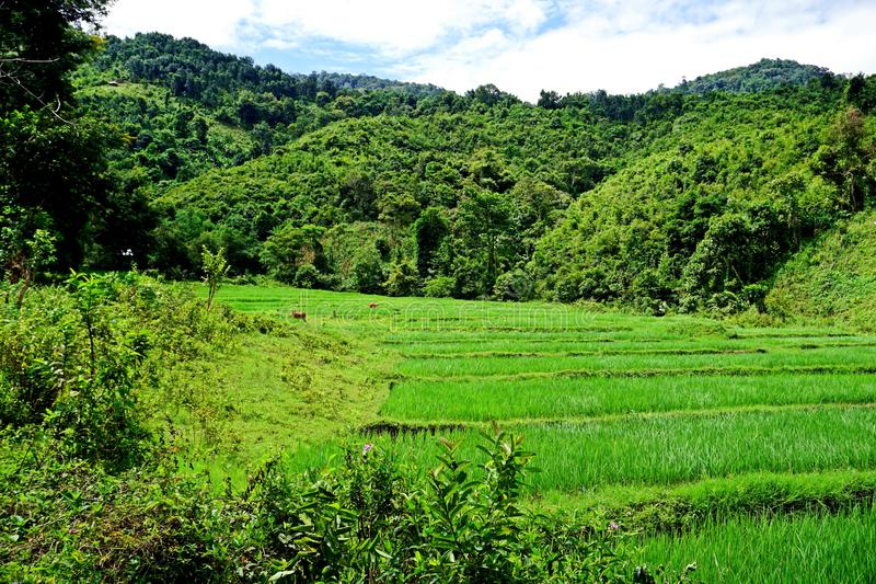 Lush Rice paddy in Luang Namtha province, northern Laos stock photography