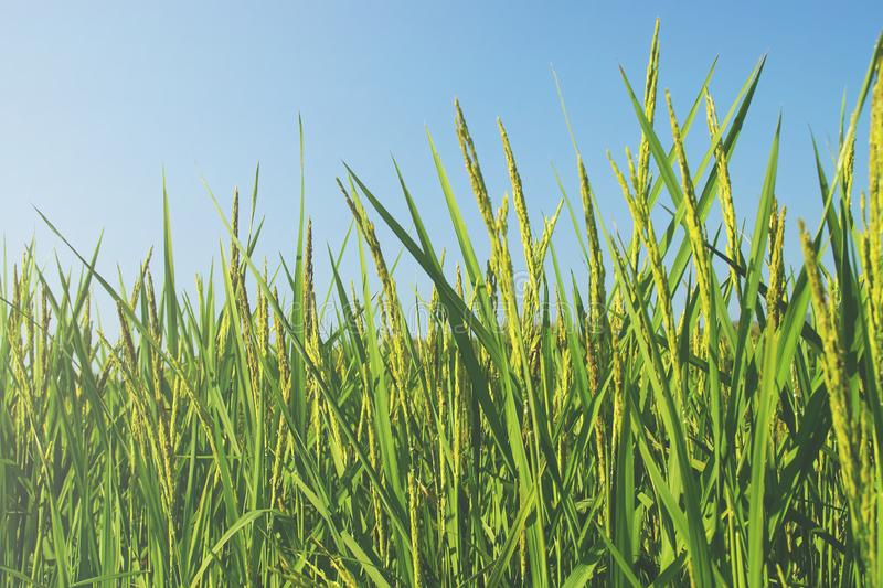 Lush Rice Paddy met Blue Sky stock foto