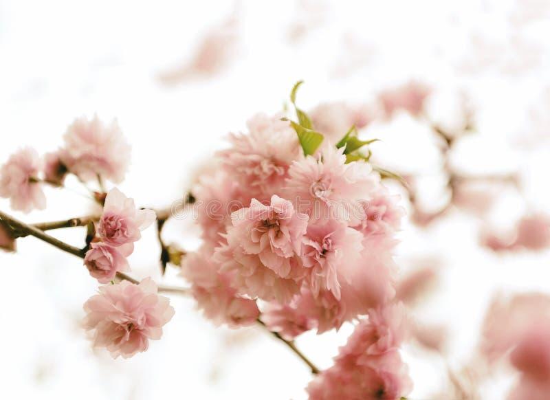 Sakura blossoms. Lush sakura blossoms in the spring royalty free stock images