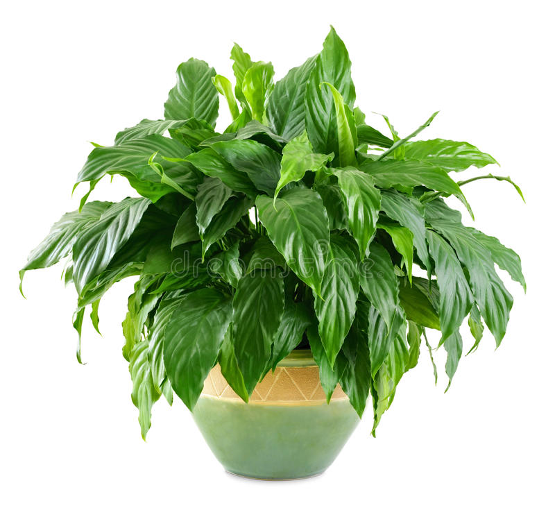 Download Lush, shiny indoor plant stock image. Image of interior - 30253527