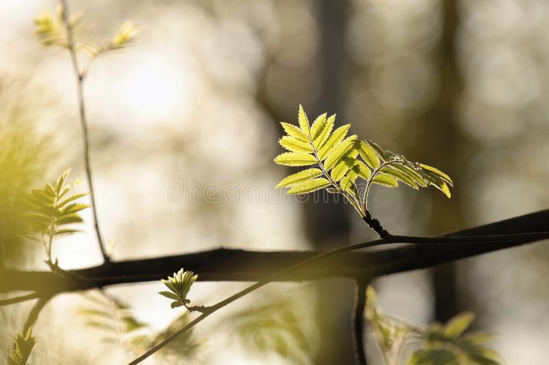 Lush springtime foliage on a tree branch in the sunshine royalty free stock photography
