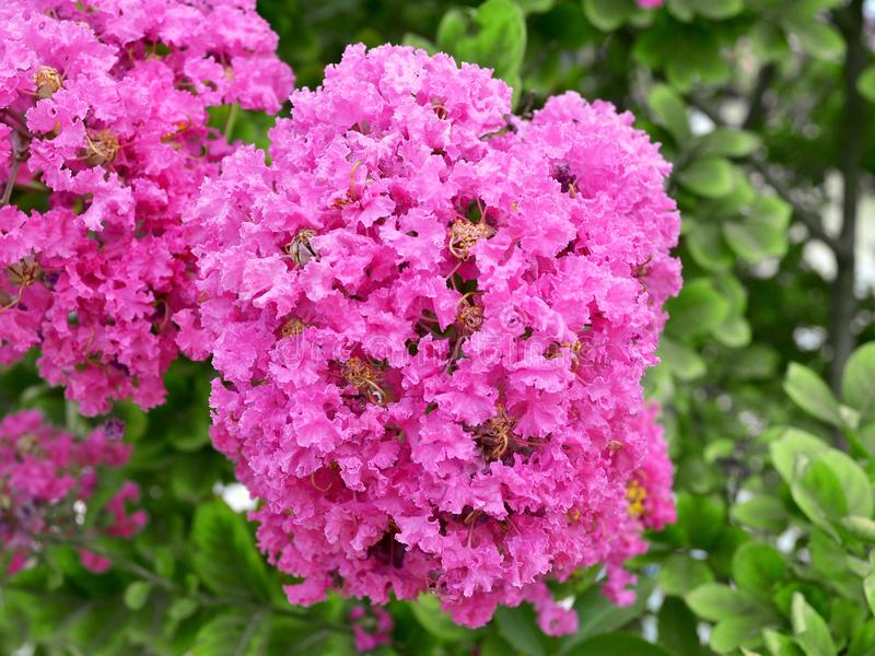 Lush terry pink inflorescence of crape myrtle stock photo