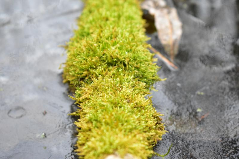 Lush thick bright blooming moss on a branch near the river covered with ice stock image