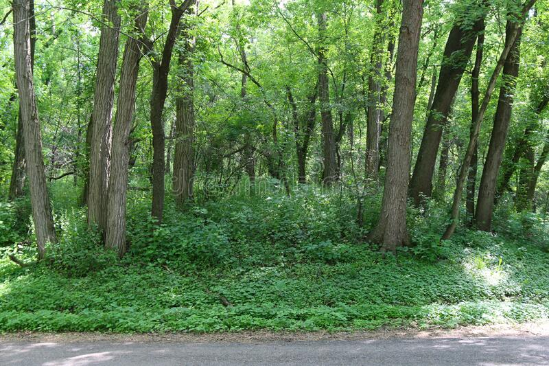 Lush tranquil forest woodland growth sunny day. A lush tranquil forest woodland growth on a sunny day stock images