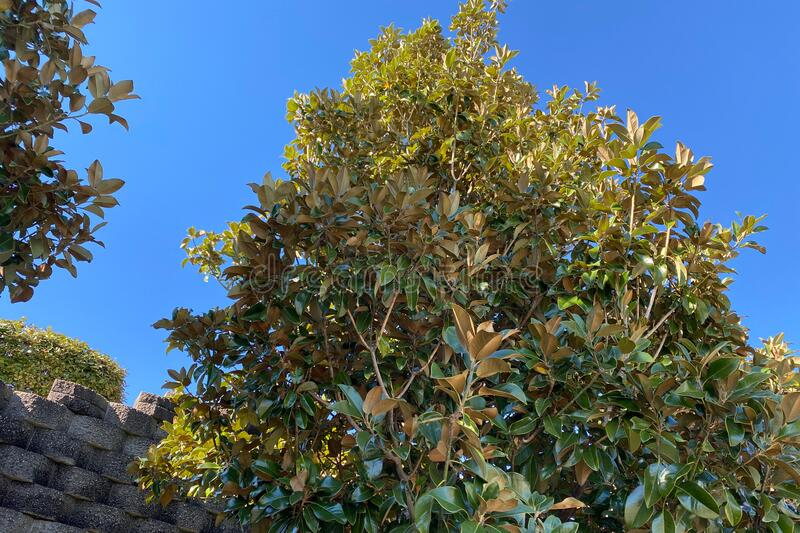 Lush tree tall garden wall blue sky day. A lush tree near a tall garden wall on a blue sky day royalty free stock images