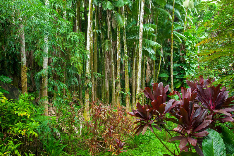 Lush tropical rain forest. Lush green tropical rain forest in Hawaii with a diverse range of plants and trees stock image