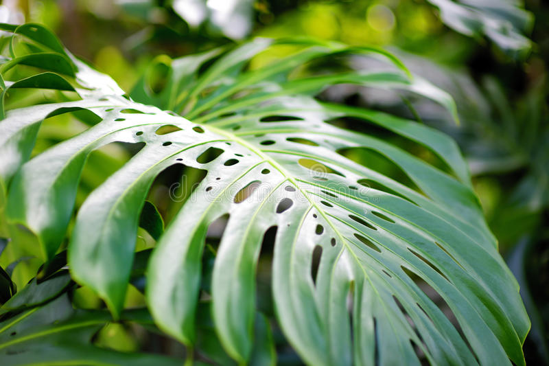 Download Lush Tropical Vegetation Of The Islands Of Hawaii Stock Photo - Image: 93290722