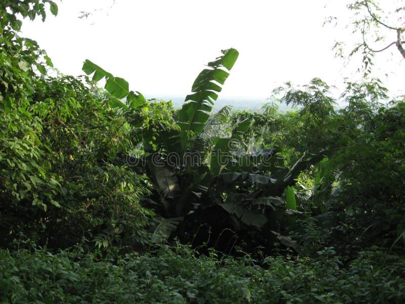 Lush tropical vegetation near San Isidro, Lipa city, Philippines. Banana leaves and lush tropical vegetation near San Isidro, Lipa city, Luzon province royalty free stock image