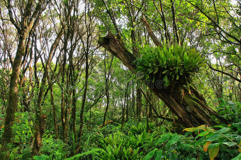 Download Lush Tropical Vegetation In Pihea Trail Stock Photo - Image: 36349040