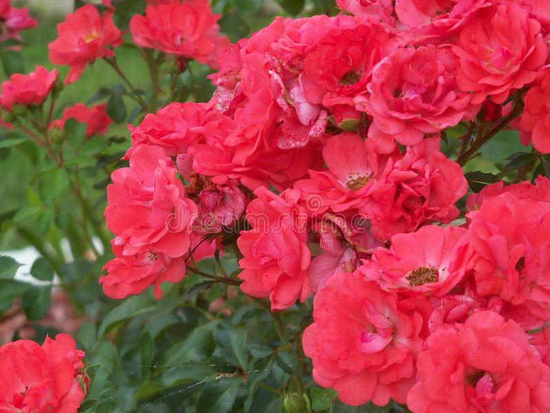 Lush old fashioned roses in full bloom. Lush and vigorous blooming old fashioned salmon colored roses royalty free stock image