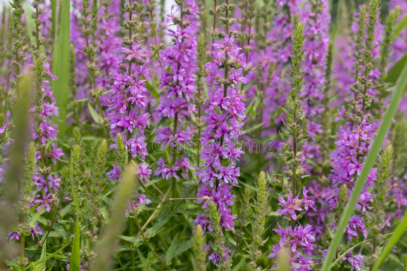 The lush willow herb flowers in summer. royalty free stock image