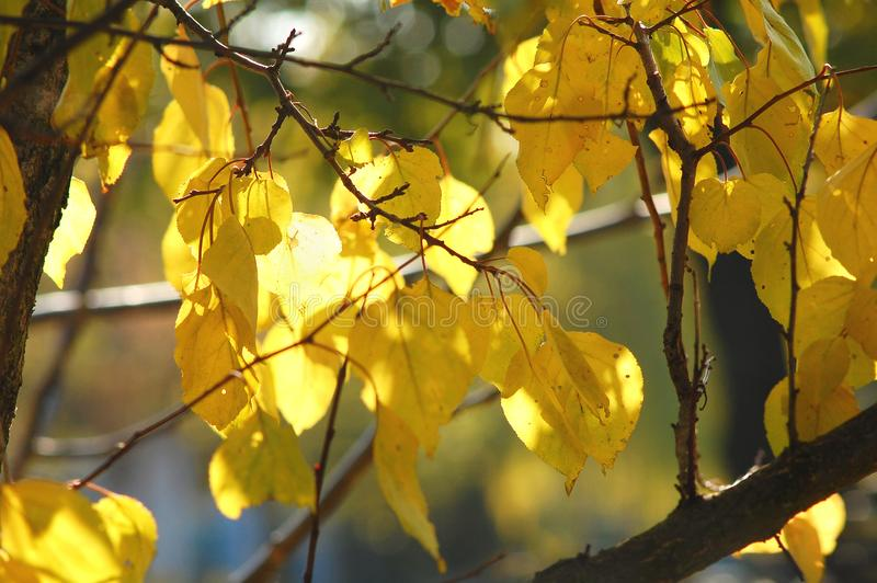 Lush yellow foliage of apricot tree backlit by soft sunlight. Warm weather, sunny day, good autumn mood. stock photos