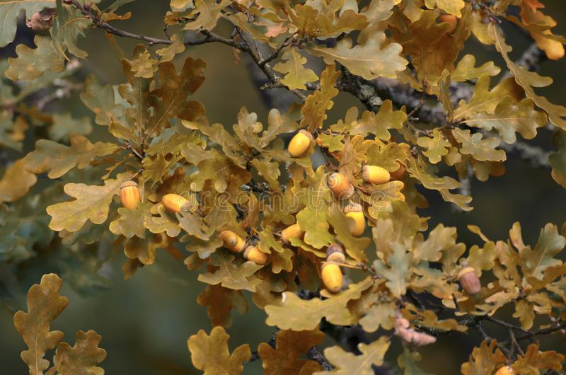 Lush yellowing foliage on oak branches with acorns in Indian summer royalty free stock images