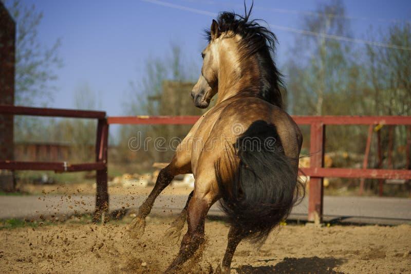Lusitano马在小牧场 图库摄影