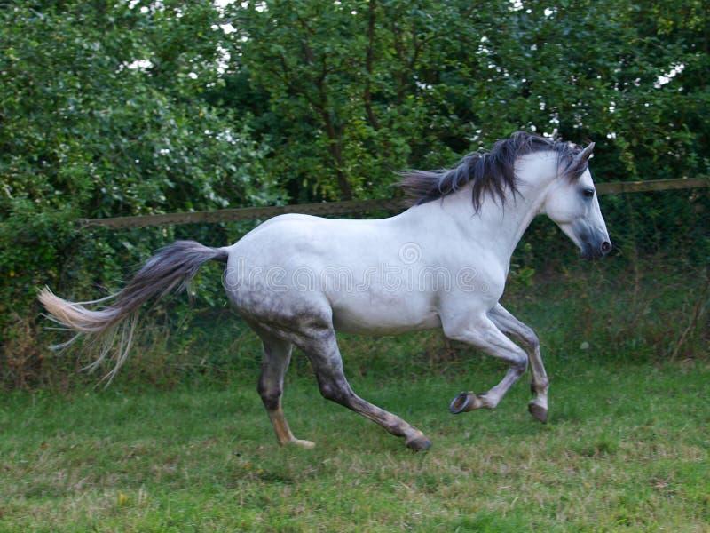 Lusitano Horse royalty free stock photos
