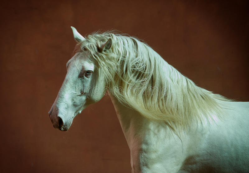 Lusitano horse portrait with red wall behind. The lusitano horse portrait with red wall behind stock photos