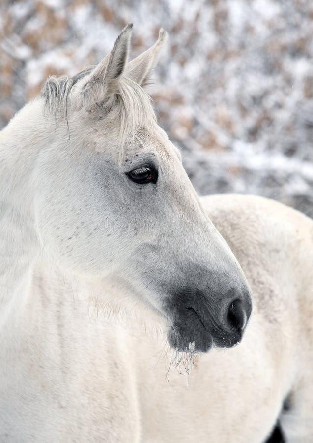 Lusitano koń obrazujący podczas zima opadu śniegu zdjęcia stock