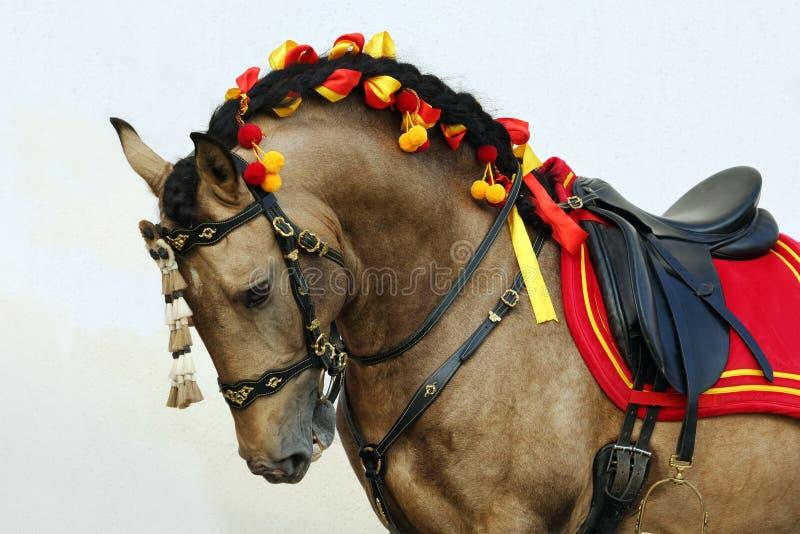 Lusitano koński portret w końskim przedstawieniu obrazy stock