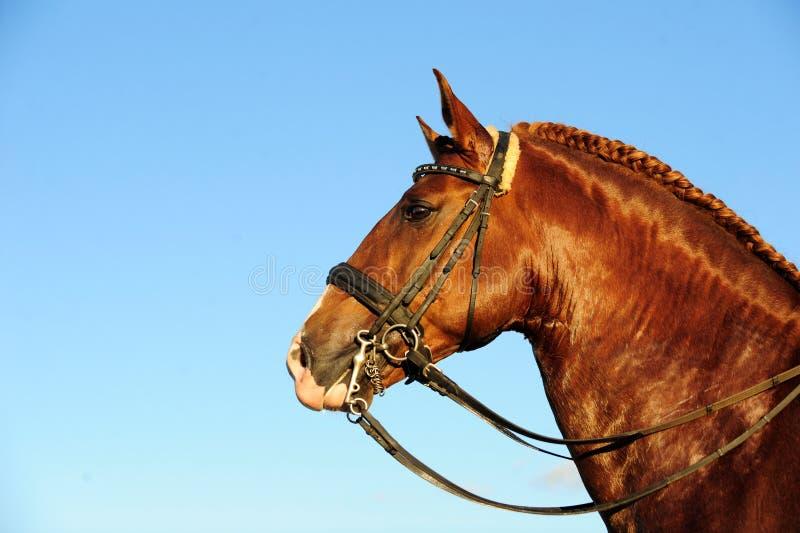 Lusitano Stallion portrait stock photography